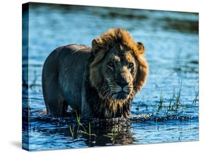 A Lion, Panthera Leo, Standing In Water In Botswana's Okavango Delta-Beverly Joubert-Stretched Canvas Print