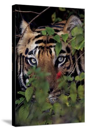 A Male Tiger In Bandhavgarh National Park-Steve Winter-Stretched Canvas Print