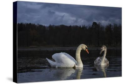 Mute Swan (Cygnus Olor), Adult And Juvenile Feeding At Twilight. Lower Silesia. Poland-Oscar Dominguez-Stretched Canvas Print