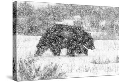 Male Grizzly Bear Walks Through Willow Flats During A Late Winter Storm In Grand Teton NP, Wyoming-Mike Cavaroc-Stretched Canvas Print