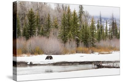 Grizzly Bear #760 Of Grand Teton National Park Walking Along The Buffalo Fork River, Wyoming-Mike Cavaroc-Stretched Canvas Print