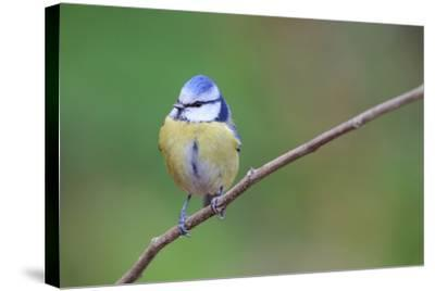 Blue Tit (Cyanistes Caeruleus) Perched On Branch. Barcelona. Catalonia. Spain-Oscar Dominguez-Stretched Canvas Print