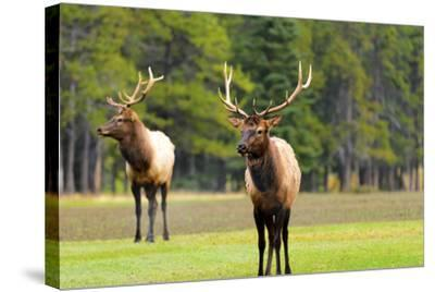 Male Elk or Wapiti (Cervus Canadensis) near Cascade Pond in Banff National Park Alberta Canada-Steve Meese-Stretched Canvas Print