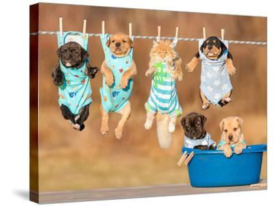 Funny Group of American Staffordshire Terrier Puppies with Little Red Cat Hanging on a Clothesline-Grigorita Ko-Stretched Canvas Print