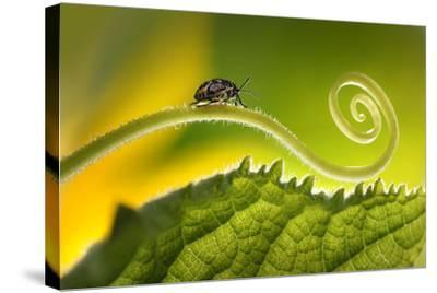 Beautiful Insects on a Leaf Close-Up, Beautiful Glowing Background, Beautiful Light, Spiral Plant,-Laura Pashkevich-Stretched Canvas Print
