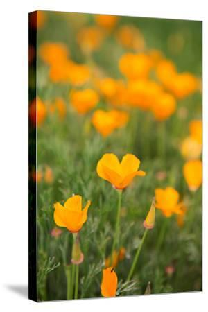 California Poppies-Karyn Millet-Stretched Canvas Print