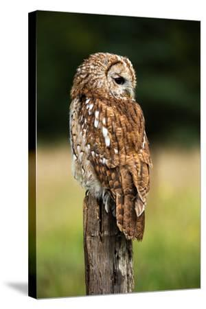 Tawny Owl on Fence Post against a Dark Background of Blurred Trees/Tawny Owl/Tawny Owl- davemhuntphotography-Stretched Canvas Print