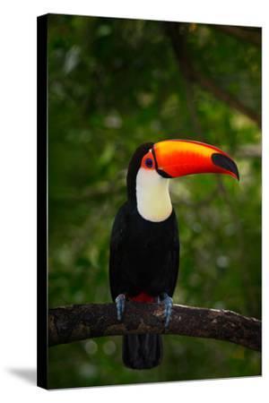 Toco Toucan, Big Bird with Orange Bill, in the Nature Habitat, Pantanal, Brazil. Orange Beak Toucan-Ondrej Prosicky-Stretched Canvas Print