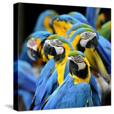 Many of Blue and Gold Macaw Perching Together with Very Warm Moment-Super Prin-Stretched Canvas Print