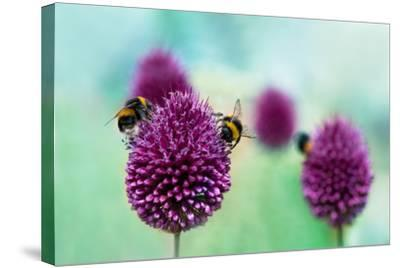 Bees on Allium Sphaerocephalon. Allium Drumstick, also known as Sphaerocephalon, Produces Two-Toned-Onelia Pena-Stretched Canvas Print