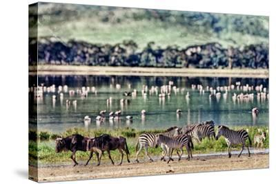 Vintage Style Image of Zebras and Wildebeests Walking beside the Lake in the Ngorongoro Crater, Tan-Travel Stock-Stretched Canvas Print