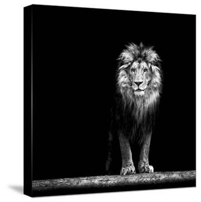 Portrait of a Beautiful Lion, in the Dark-Baranov E-Stretched Canvas Print