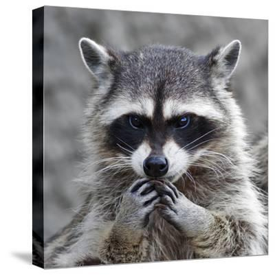 The Head and Hands of a Cute and Cuddly Raccoon, that Can Be Very Dangerous Beast. Side Face Portra- andamanec-Stretched Canvas Print