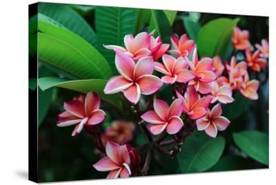 Plumeria Spp. Frangipani Flowers, Frangipani- KiattisakCh-Stretched Canvas Print