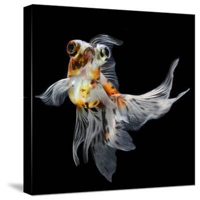 Goldfish Isolated on Black Background- bluehand-Stretched Canvas Print