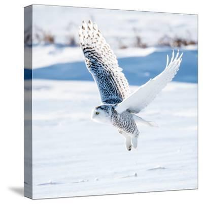 Snowy Owl in Flight- FotoRequest-Stretched Canvas Print