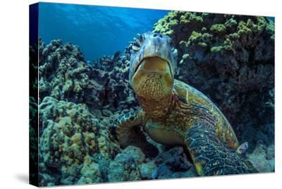 Beautiful Underwater Wildlife Postcard. Hawaiian Sea Turtle Honu Getting Rest in Coral Reef. Wild N-Willyam Bradberry-Stretched Canvas Print
