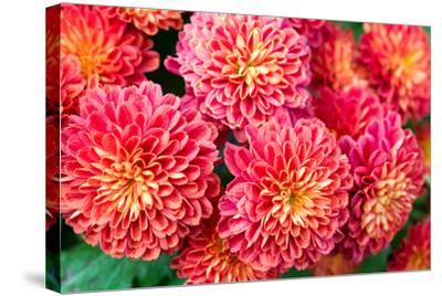 Beautiful of Red Garden Dahlia Flower-Suwat wongkham-Stretched Canvas Print