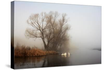 Geese in Fog. Flock of Birds Swims near Shore of River under Trees. Beautiful Spring Landscape in M- arvitalyaa-Stretched Canvas Print
