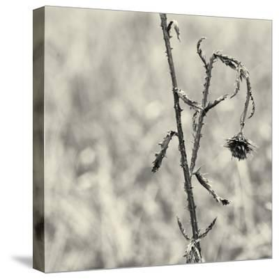 Thistle Study-Geoffrey Ansel Agrons-Stretched Canvas Print
