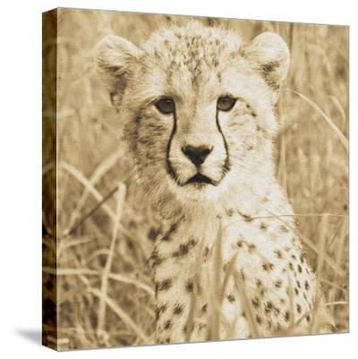 Young Cheetah-Susann Parker-Stretched Canvas Print