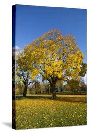 Kew Autumn Tree-Charles Bowman-Stretched Canvas Print