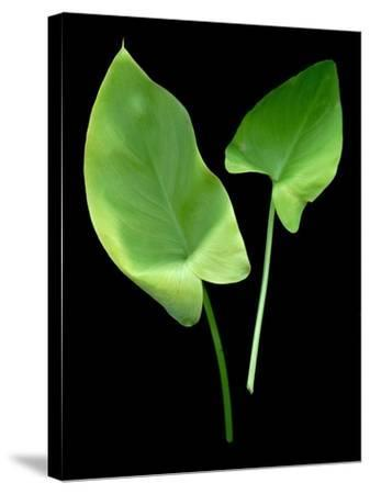 Floral Color #24-Alan Blaustein-Stretched Canvas Print