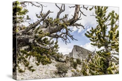 The House Range As Seen Through Bristlecone Pines-Ron Koeberer-Stretched Canvas Print