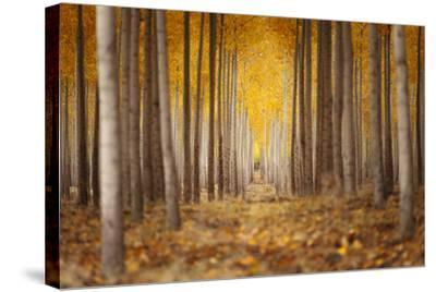Fall Color In A Tree Farm In Oregon-Joe Azure-Stretched Canvas Print