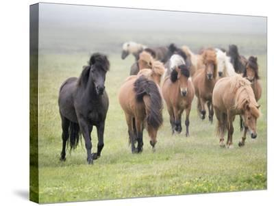 Grassland Horses II-PHBurchett-Stretched Canvas Print