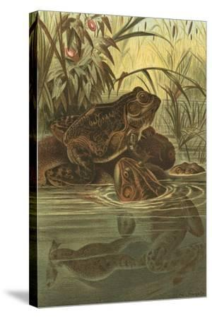 Pond Frogs- Prang-Stretched Canvas Print