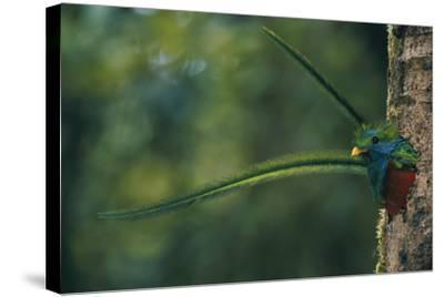 Male Resplendent Quetzal (Pharomachrus Mocinno Costaricensis) Peers from its Nest in Guatemala-Steve Winter-Stretched Canvas Print
