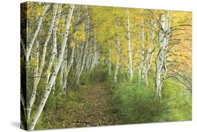 A Sedge-Lined Trail Through a Birch Forest-Michael Melford-Stretched Canvas Print
