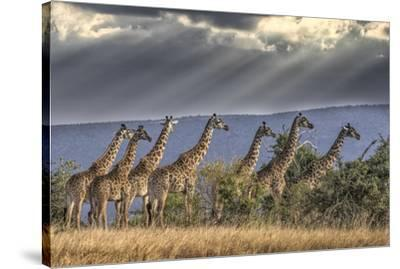 Africa, Kenya, Masai Mara National Reserve. Group of giraffes and stormy sky.-Jaynes Gallery-Stretched Canvas Print