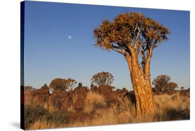 Namibia, Keetmanshoop, Quiver Tree Forest, Kokerboom.-Ellen Goff-Stretched Canvas Print