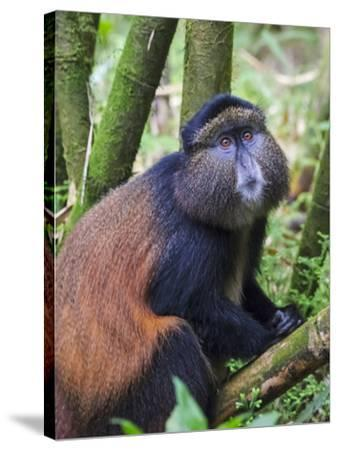 Golden Monkey, Cercopithecus Mitis Kandti, in the bamboo forest, Parc National des Volcans, Rwanda-Keren Su-Stretched Canvas Print