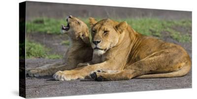 Africa. Tanzania. African lions at Ndutu, Serengeti National Park.-Ralph H^ Bendjebar-Stretched Canvas Print