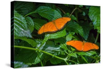 Julia Butterflies (Dryas iulia) perching on leaves, Niagara Parks Butterfly Conservatory, Niagar...--Stretched Canvas Print