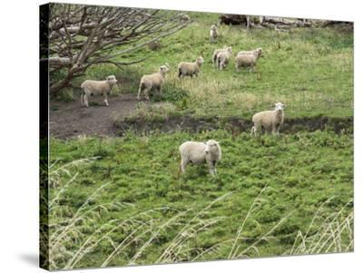 Flock of sheep grazing in a field, State Highway 1, Taihape, Manawatu-Wanganui, North Island, Ne...--Stretched Canvas Print