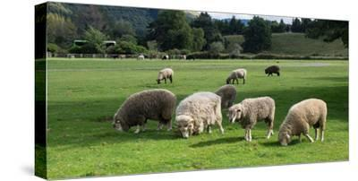 Sheep grazing in a field, Agrodome, State Highway 5, Rotorua, ay of Plenty, North Island, New Ze...--Stretched Canvas Print