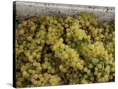 Close-up of Chardonnay grapes, Church Road Tom Chardonnay, Hawke's Bay, Hastings, North Island,...--Stretched Canvas Print