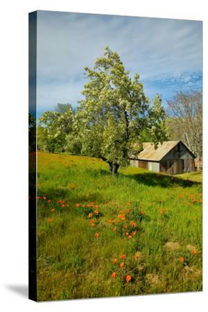 Old barn next to a colorful bouquet of spring flowers and California Poppies near Lake Hughes, CA--Stretched Canvas Print