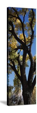 Low angle view of a cottonwood tree, New Mexico, USA--Stretched Canvas Print