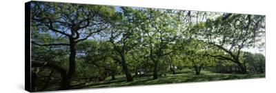 Oak trees (Quercus) in a field--Stretched Canvas Print