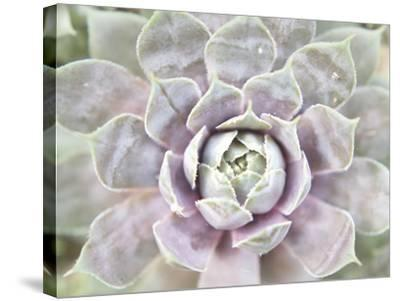 Succulent Glow I-Jason Johnson-Stretched Canvas Print