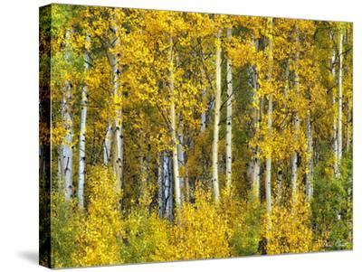 Yellow Woods II-David Drost-Stretched Canvas Print