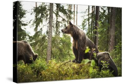 Brown Bear (Ursus Arctos), Finland, Scandinavia, Europe-Janette Hill-Stretched Canvas Print