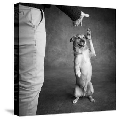 Portrait of Red Bone Coon Mix Dog with Legs of a Man--Stretched Canvas Print