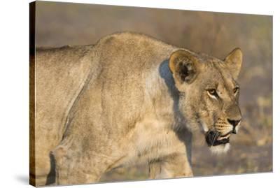 A lioness (Panthera leo) walking, Savuti marsh, Chobe National Park, Botswana, Africa-Sergio Pitamitz-Stretched Canvas Print