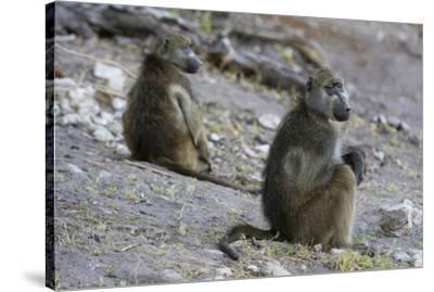 Two chacma baboons (Papio ursinus), Chobe National Park, Botswana, Africa-Sergio Pitamitz-Stretched Canvas Print